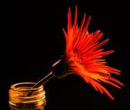Bloem van rode aster Stock Afbeelding