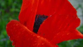 Bloem van rode papaver op een gebied van papavers Bloem van rode papaver op het gebied onder het gras Een bij die stuifmeel op ee stock videobeelden