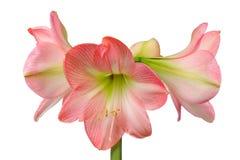 Bloeiende amaryllis stock foto