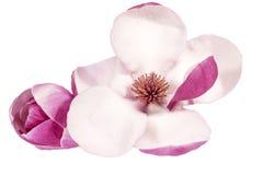 Bloem van roze die magnolia op witte achtergrond, dichte omhooggaand wordt geïsoleerd royalty-vrije stock foto's