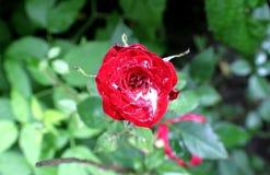 Bloem van rozen, en dalingen van regenwater Aard van de Oekraïne Royalty-vrije Stock Fotografie