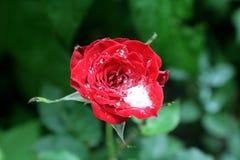 Bloem van rozen, en dalingen van regenwater Aard van de Oekraïne Stock Foto's