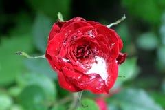 Bloem van rozen, en dalingen van regenwater Aard van de Oekraïne Stock Afbeelding