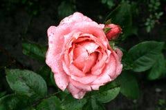 Bloem van rozen, en dalingen van regenwater Aard van de Oekraïne Royalty-vrije Stock Foto