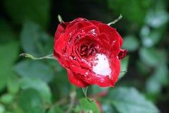 Bloem van rozen, en dalingen van regenwater Aard van de Oekraïne Stock Foto