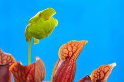 Bloem van Sarracenia (de Installatie van de Waterkruik) stock foto
