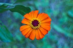 Bloem van tuin de oranje Zinnia, hoogste mening Stock Afbeeldingen