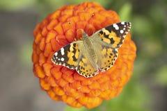 Bloem van Tuin met een vlinder Royalty-vrije Stock Foto