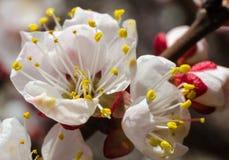 Bloem van wild abrikozenclose-up op een duidelijke zonnige dag in de lente Royalty-vrije Stock Fotografie