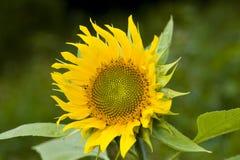 Bloem van zonnebloem Royalty-vrije Stock Afbeeldingen