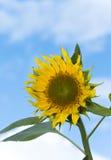 Bloem van zonnebloem Stock Afbeelding