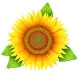 Bloem van zonnebloem Stock Foto's