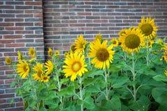 Bloem van zonnebloem stock fotografie