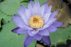 Bloem violet Lotus en bladeren Stock Afbeelding