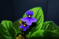 Bloem violette purple Stock Foto