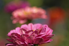 Bloem voor Tuin Stock Foto