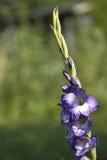 Bloem voor Tuin Royalty-vrije Stock Foto's
