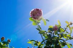Bloem in zonlicht Stock Afbeelding