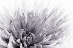 Bloem in zwart-wit stock foto's