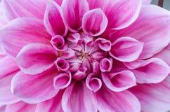 Bloemachtergrond, macroschot van de Dahlia het kleurrijke bloem Stock Afbeeldingen