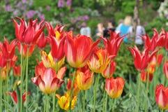 Bloembed bloeiende tulpen Stock Fotografie