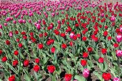 Bloembed met bloeiende roze en rode tulpen Royalty-vrije Stock Afbeeldingen