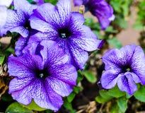 Bloembed met donkere violette bloemen van ochtendglorie Stock Fotografie