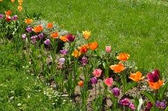 Bloembed met kleurrijke tulpen royalty-vrije stock foto's