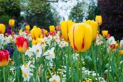Bloembed met kleurrijke tulpen en andere bloemen Royalty-vrije Stock Fotografie