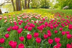 Bloembed met kleurrijke tulpen en andere bloemen Royalty-vrije Stock Afbeelding