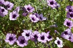 Bloembed met multicoloured purpere en violette petunia Macro van mooie kleurrijke hybridabloemen die van de petuniapetunia wordt  stock fotografie