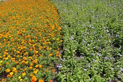 Bloembed met oranje goudsbloemen en violette flossflowersverticaal royalty-vrije stock afbeeldingen