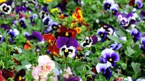 Bloembed met vele tricolor van de pansiesaltviool stock footage