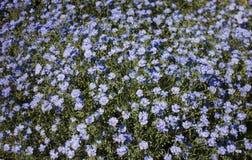 Bloembed van blauwe bloemen stock fotografie