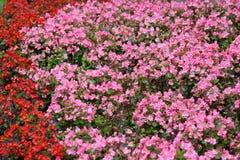 Bloembed van de begonia Royalty-vrije Stock Fotografie