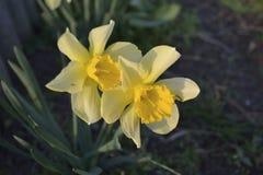 Bloembed van gele gele narcissen Royalty-vrije Stock Fotografie