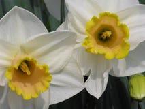 Bloembed van gele narcissen Royalty-vrije Stock Afbeeldingen