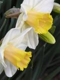 Bloembed van gele narcissen Stock Foto
