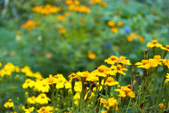 Bloembed van goudsbloemen royalty-vrije stock foto's