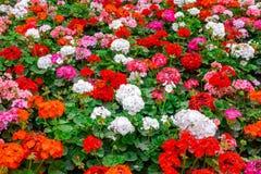 bloembed van kleurrijke bloeiende geranium zoals achtergrond in park stock foto