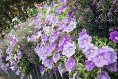 Bloembed van mooie purpere bloemen op het metaaltraliewerk stock fotografie