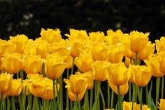 Bloembed van ongebruikelijke gele tulpen Stock Afbeelding
