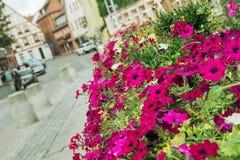 Bloembed van purpere bloemen in het historische stadscentrum stock foto's