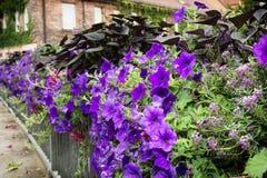 Bloembed van purpere bloemen op een metaaltraliewerk stock foto
