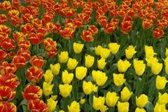 Bloembed van rode en gele tulpen Stock Afbeeldingen