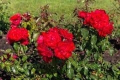 Bloembed van rode rozen Royalty-vrije Stock Foto