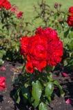 Bloembed van rode rozen Stock Afbeelding