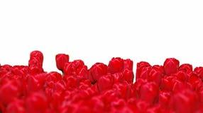 Bloembed van rode tulpen die op wit worden geïsoleerde Stock Fotografie