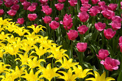 Bloembed van roze en gele tulpen Stock Fotografie