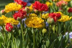 Bloembed van tulpen royalty-vrije stock afbeelding